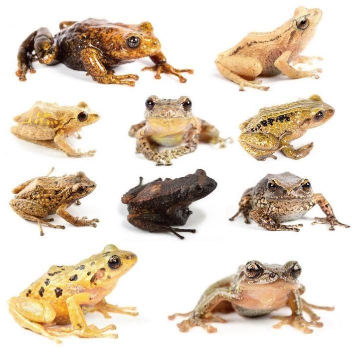 Ученые из Папского католического университета открыли 11 новых видов лягушек